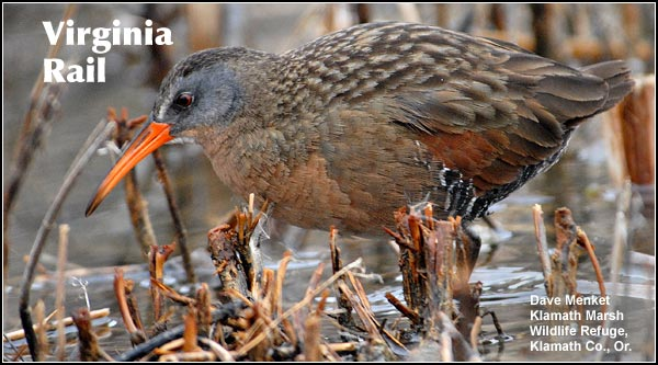 Like soras, Virginia rails are fairly common in bulrush and cattail marshes in the Upper  Klamath Basin watershed.  Their numbers decrease in the winter when insects and invertebrates are more difficult to find.  photo by dave menke