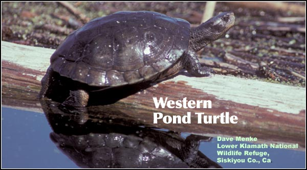 Western pond turtles are most commonly seen basking in the sun while perched on logs at the edge of permanent wetlands. photo by dave menke