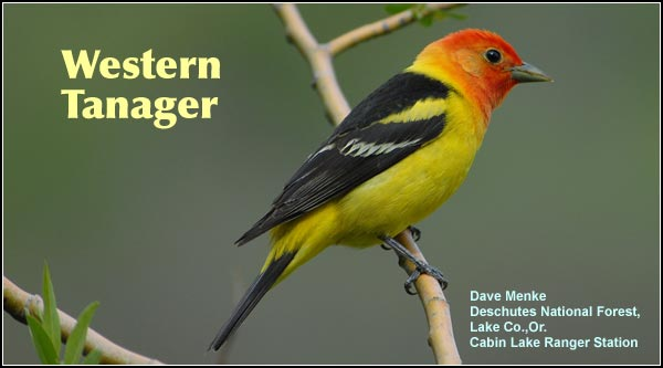 Western tanagers , although a breeding species, are seen primarily during migration when they may be observed in all upland habitats. They are also found in juniper/sagebrush, Ponderosa/lodgepole pine forest and high elevation forest. photo by dave menke