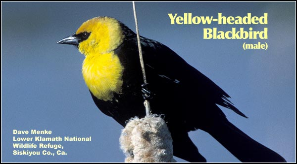 Yellow-headed blackbirds commonly nest in deep water wetlands with dense cattail and bulrush stands.  They are uncommon during the winter when small numbers may be seen in large flocks of red-winged blackbirds.