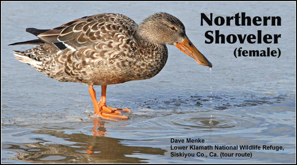 Shovelers nest in grassy areas and hay fields sometimes up to a mile from the nearest water. Females lay and incubate 8 to 12 eggs that usually hatch in May. photo by dave menke