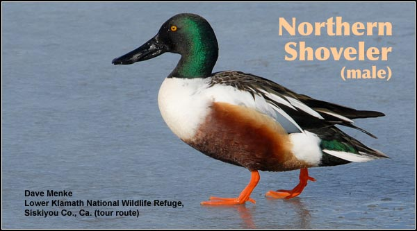Northern shovelers are very abundant in Upper Klamath Basin wetlands during the fall, winter and spring.  Although still common, their numbers decrease somewhat outside the migration periods. photo by dave menke