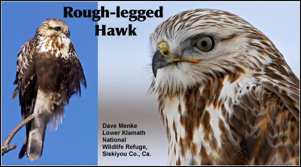 Rough-legged hawks are present in the Upper Klamath Basin watershed only during the winter months.  They migrate south from locations as far away as Canada and Alaska. photo by dave menke