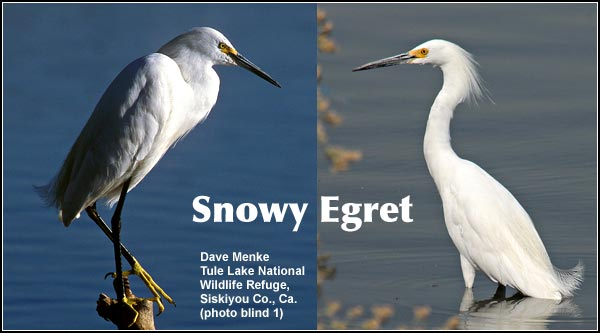 Snowy egrets breed and are commonly seen throughout the Upper Klamath Basin watershed during the spring, summer and early fall. They migrate out of the area during the winter. photo by dave menke