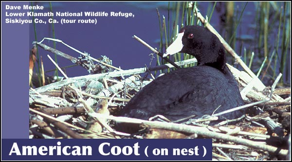 Within the Upper Klamath Basin watershed,  American coots are abundant year-round residents in all marshes,  lakes and wetlands. They create floating nests using cattails and bulrush.  photo by dave menke