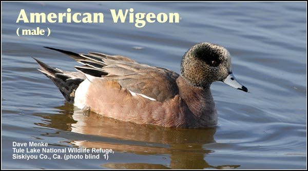 Although American wigeon are seen year -round, their numbers peak during the spring and fall waterfowl migration periods.  They nest in relatively small numbers in brushy upland areas. photo by dave menke
