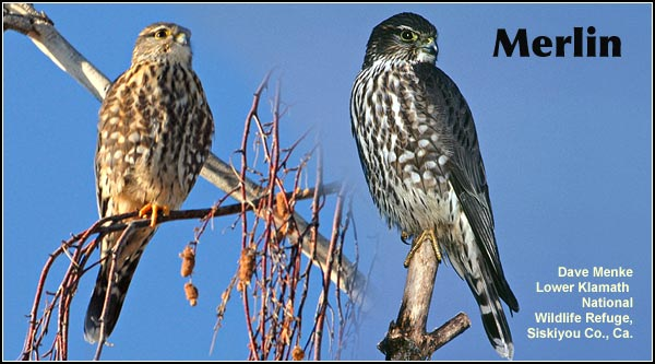 Merlins are small hawks seen in the Upper Klamath Basin during the fall and  winter.  They have been observed perching at the edge of wetlands on Lower Klamath Refuge and Klamath Wildlife Area. photo by dave menke