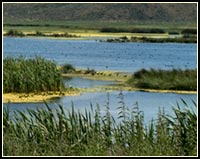 Abundant shallow wetlands are found in the Upper Klamath and Tule Lake Basins. These wetlands have historically had water during the winter and spring, but tended to dry out during the summer and fall. Today, most wildlife areas and refuges manage seasonal wetlands using water control structures to mimic this yearly wet and dry cycle. Wading shorebirds and dabbing ducks are among the diverse wildlife species commonly seen in seasonal marshes and wetlands. photo by anders tomlinson