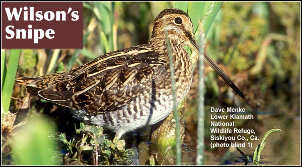 "Snipe are a common but reclusive, year-round species of meadows and marshes.  In the spring and summer, snipe make a ""winnowing"" sound in their unique aerial display which occurs at dusk over marshes. photo by dave menke"