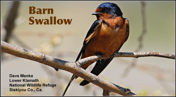 Barn swallows are found in agricultural and residential areas during the summer. This common swallow often builds its mud nest in the eaves of structures.  It feeds  in flight over open fields and marshes. photo by dave menke
