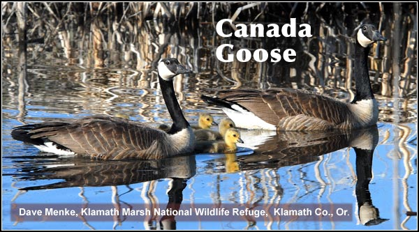 Canada geese feed ingrain stubble fields and pastures.  During April, May and June   broods of  goslings appear on wetlands throughout the Lower Klamath  and Tule Lake Basins.  photo by dave menke