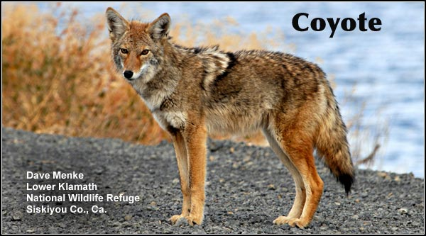 Coyotes are common in agricultural areas as well as most other upland habitats in the Upper Klamath and Tule Lake Basins. photo by dave menke