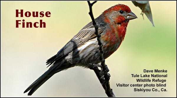 House Finches are common year round in a variety of upland habitats within the  Upper Klamath and Tule Lake Basins.  It is readily attracted to  bird feeders. photo dave menke