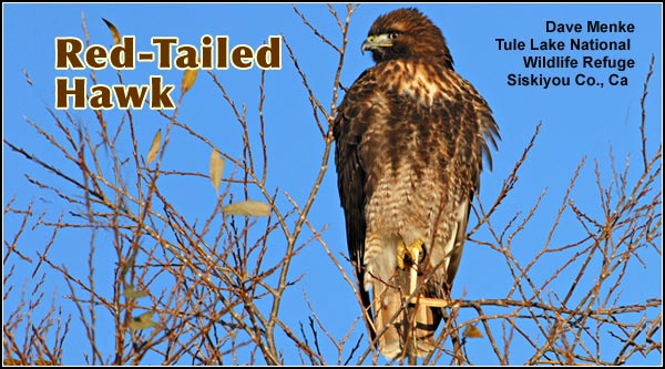 Red-tailed hawks, by far,  are the most common hawk in the Upper Klamath Basin  watershed.  Red-tailed hawks may be observed year round in all habitats. photo by dave menke