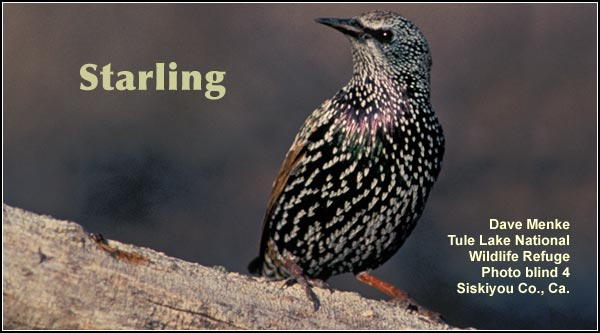 Starlings are a non-native species and are common in widespread areas of the Upper Klamath and Tule Lake Basins.  Starlings adapt well to human activity  and development and are often seen near buildings. photo by dave menke