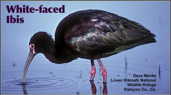 White-Faced Ibis are observed mostly in the southern portions of the Upper Klamath and Tule Lake Basins during the months of May through September.  They  feed in flooded pastures and shallow wetlands and nest in large expanses of  dense cattail and bulrush marsh. photo by dave menke