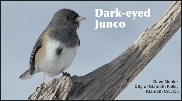 Dark-eyed juncos are common in high elevation forest habitats during the summer.  In the winter juncos are more common at lower elevations where they are readily attracted to bird feeders.  photo dave menke