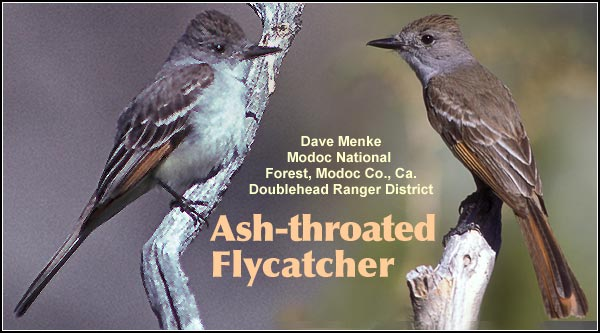 Ash-throated flycatchers are seen during the  summer months in the  Upper Klamath and  Tule Lake Basins.   They may also be found  in fairly open upland  habitats with scattered  trees and brushy areas. photo by dave menke