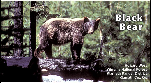 This uncommon, and mostly nocturnal, large mammal is found primarily at high  elevation in forests and meadows in the Upper Klamath and Tule Lake Basins.  photo howard west