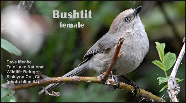 Bushtits are found throughout the year in brushy areas or locations with open grown trees within the Upper Klamath Basin watershed. They are often seen in active flocks of twenty or more birds.  photo by dave menke