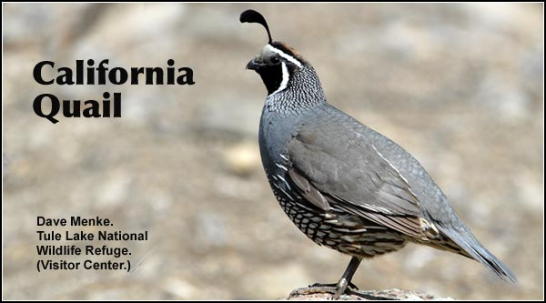 California Quail are abundant in most upland habitats within the Upper Klamath and Tule Lake Basins.  Readily attracted to feeding locations and scattered seed. Also found in Ponderosa/lodgepole pine forest and crop and pasture land. photo dave menke