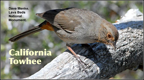 California Towhee is found at the northern extent of its range in the Upper Klamath Basin.  It is uncommonly observed in dense brushy habitats in  the southern portion of the Upper Klamath Basin.  photo by dave menke