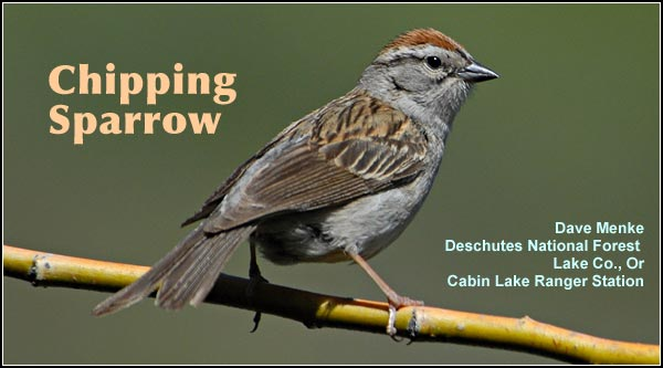 Chipping sparrows  may be observed  during the spring   and summer months  in brushy and forested  habitats within the  Upper Klamath  Basin watershed.   photo by dave menke