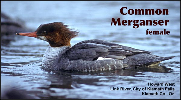 Common mergansers may be observed on high elevation lakes and streams. During the late fall and winter they are commonly observed on rivers, lakes and wetlands at lower elevations.  photo howard west