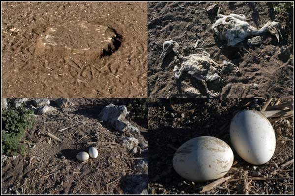 pelican eggs and young dead pelicans on an island in clear lake national wildlife refuge, modoc county california, tulelake california.  photos by anders tomlinson