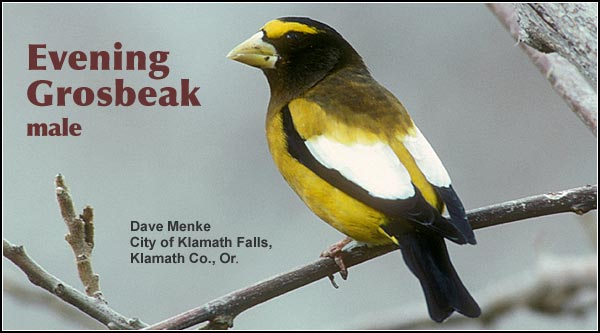 Evening grosbeaks are an uncommon year-round resident and are  often seen in loose flocks.  In addition to coniferous forests, they may be seen in  residential areas in years when seed crops are scarce at  higher elevations.  photo dave menke