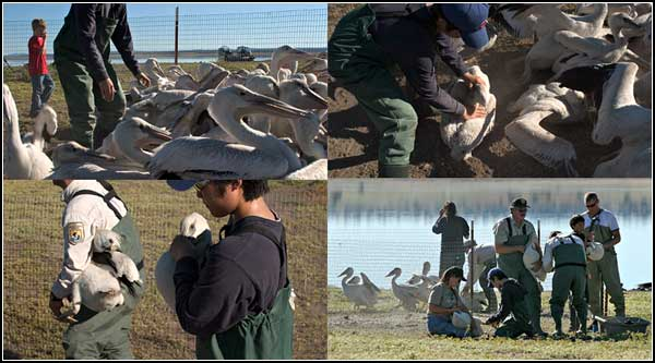 u.s. fish and wildlife  capture and band young pelican on an islans in clear lake national wildlife refuge. modoc county, california. tulelake california. photos by anders tomlinson