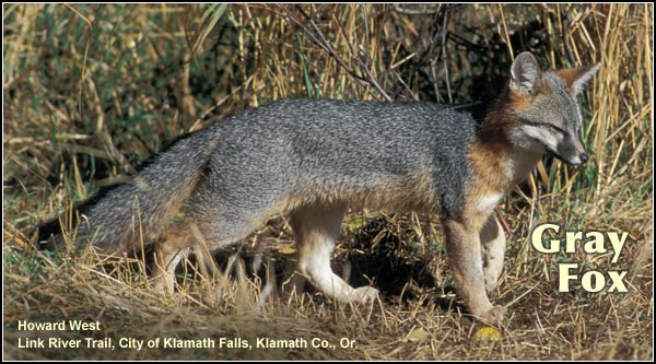 The gray fox is an uncommon resident mammal.  They may be observed in a  variety of wooded or brushy habitats in the Upper Klamath Basin watershed.  higher elevations.  photo by howard west
