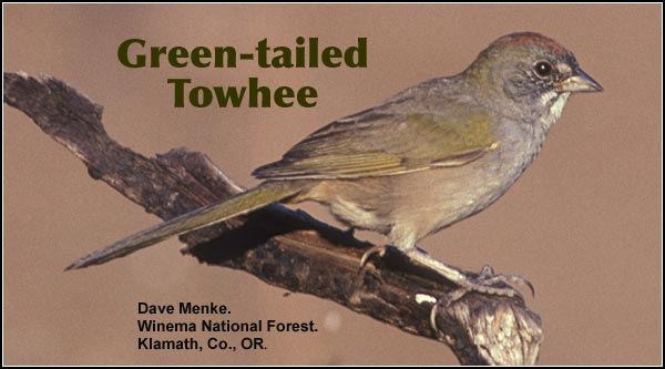Green-tailed Towhee are uncommon in brushy areas with either juniper or open pine overstory.  Present in the spring, summer and fall months.   Also found in Ponderosa/lodgepole pine forest.  photo by dave menke