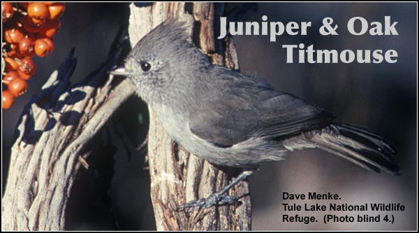 Juniper and oak titmouse are two very similar species which have over-lapping ranges in the Tule Lake Basin.  They are uncommon in juniper sagebrush habitat year round.  photo by dave menke