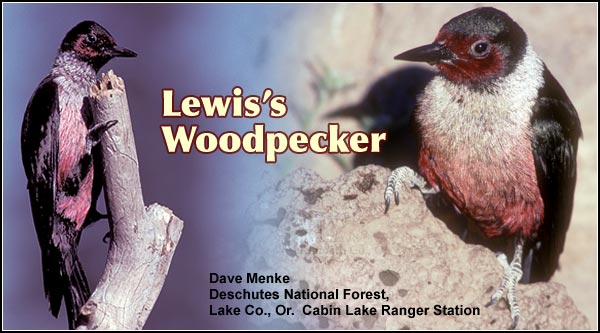 Lewis's woodpeckers are found year-round  in scatter locations in  the Upper Klamath  Basin watershed.   They nest in Ponderosa  pines or cottonwoods  feeding mostly on  insects during the  summer months.  Other  habitats include high  elevation forests.  photo dave menke