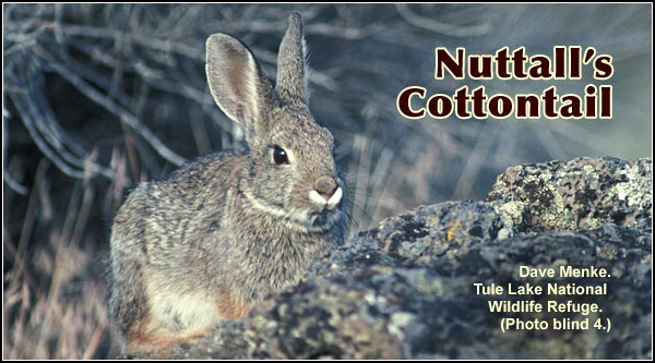 Nuttal's Cottontails are fairly common in brushy areas of sagebrush habitat in the southern portion of the Upper Klamath Basin.  photo by dave menke