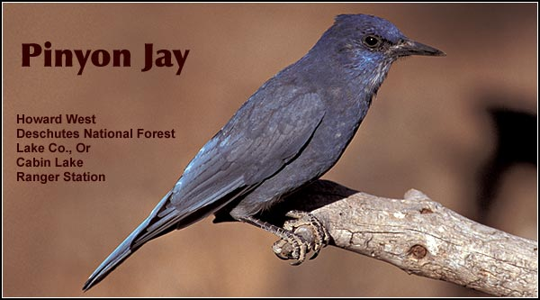 Pinyon jays are found in pine and juniper habitats in the  southern portion of  the Upper Klamath  Basin watershed.   They are a rare to  uncommon resident  occasionally observe  in the Lava Beds and  Clear Lake areas.   Other habitats include juniper/sagebrush.  photo by howard west