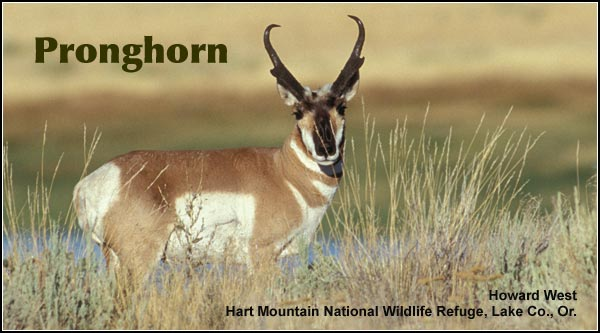 <strong>Pronghorn</strong> are fairly common in areas of open sagebrush and scattered junipers   in the Upper Klamath and Tule Lake Basins,  They are also occasionally seen in  agricultural areas and open pine forested locations.   photo by howard west