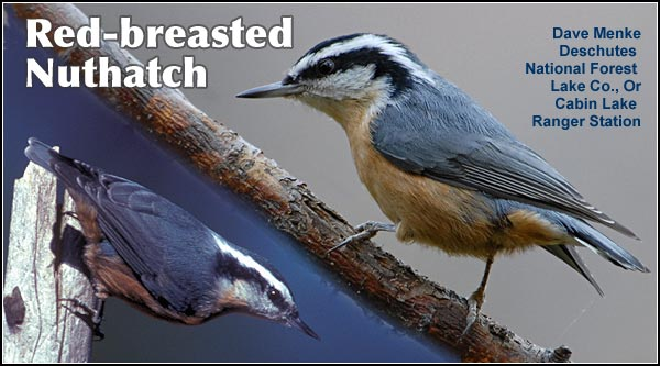 The Red-breasted  nuthatch is commonly  found throughout the  year in the Upper  Klamath Basin  watershed.  They are  seen primarily in  forested areas where  conifers are the  dominant overstory  species.  Other habitats include high elevation  forest and riparian area  photos by dave menke