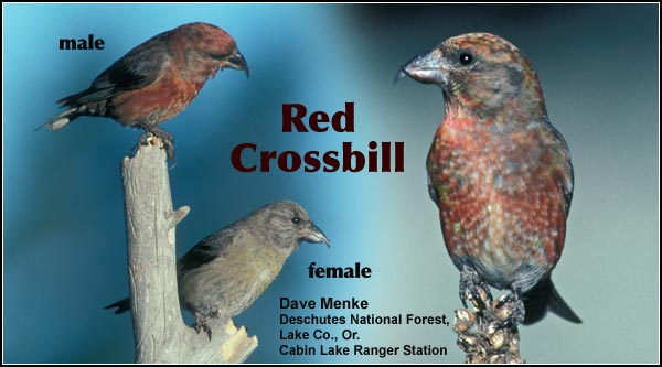 Red crossbills are an uncommon year-round resident of the coniferous forests within the upper Klamath and Tule Lake Basins.  Other habitats include Ponderosa/lodgepole pine forests. photos by dave menke