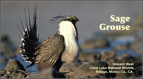 The local Sage Grouse population is restricted to a few small breeding areas known as leks on Clear Lake Refuge which are active in March and April.  photo by howard west