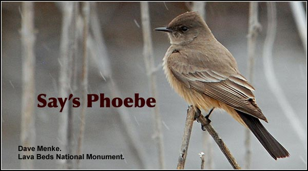 Say's Phoebes are seen during the spring and summer months, Say's phoebes breed in open sagebrush locations with nearby rocky outcrops which provide nesting sites such as rock crevices, ledges or tree cavities.  photo by dave menke