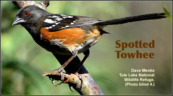Spotted Towhee are common in a variety of upland habitats in the Upper Klamath Basin.  Prefers habitats which have fairly dense brush.  Seen year round.  Also found in Ponderosa/lodgepole pine forest.  photo by dave menke