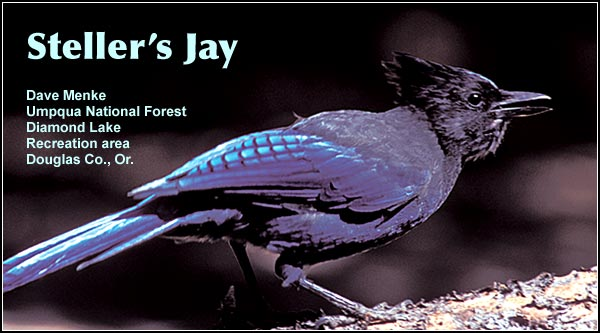 Steller's jays are common and seemingly, ubiquitous year-round residents found throughout the Upper Klamath Basin watershed.  Usually found where conifers are the prevalent tree species.  photo dave menke