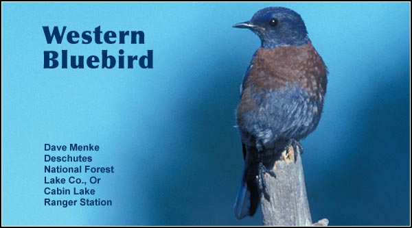 Western bluebirds are seen in the Upper Klamath Basin  watershed during  the spring and fall   migrations, as well  as the summer.  This  uncommon species is observed primarily in open areas of  scattered trees  and brush.  photo by dave menke