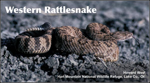 Western rattlesnakes are both rare and reclusive in the Upper Klamath Basin watershed.  They are found mostly in rocky or bushy areas in the southern portion of the Upper Klamath and Tule Lake Basins.    photo by howard west