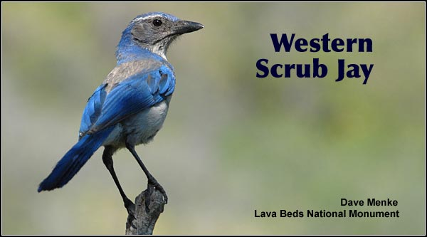 Scrub jays are widely distributed in urban, rural, forested, and brushy habitats  throughout the Upper Klamath Basin watershed.  They are the most common of several jay species found here.  photo by dave menke