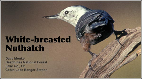White-breaste Nuthatches are an uncommon species   may be found year-round  in most forested habitats. It favors locations with  deciduous trees whereas  the red-breasted nuthatch  is more common in  conifers and at higher  elevations.    photo by dave menke.