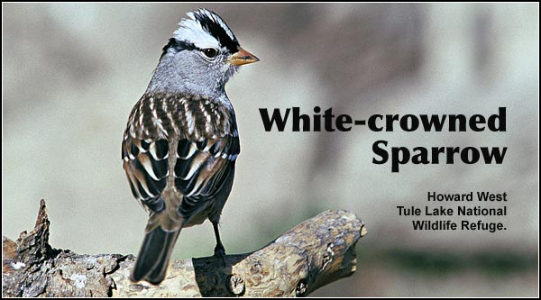 White-crowned Sparrows are observed primarily as a fall and spring migrant in nearly all upland habitants in the Upper Klamath Basin Watershed. They can also be seen in Ponderosa/lodgepole pine forest as well as crop and pasture land.  photo by howard west
