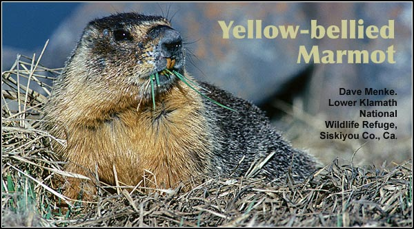 Yellow-bellied marmots are found in widely scattered locations throughout the Upper Klamath Basin watershed, but nearly always in close association with rocky outcrops, talus slopes or piles of large rocks.   photo by dave menke